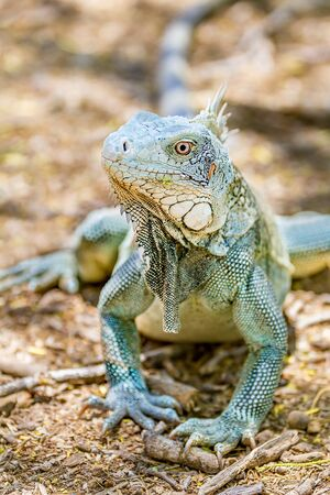 Close up green iguana front view with head and front legs