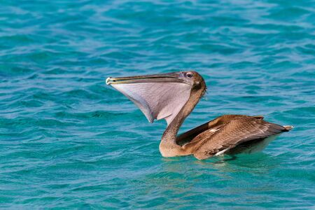 Brown pelican on blue sea eating fresh fish