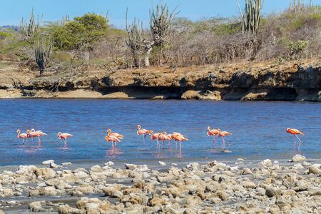 Group of large red caribbean  flamingos walking in lake on coast Zdjęcie Seryjne