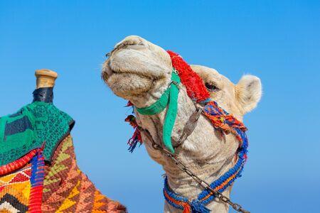 Portrait camel head  with colorful head collar against blue sky Reklamní fotografie