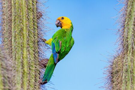 Yellow-shouldered Amazon Parrot hanging from cactus with blue sky Reklamní fotografie