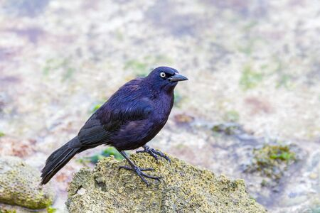 Black carib grackle on stone in sea of Bonaire