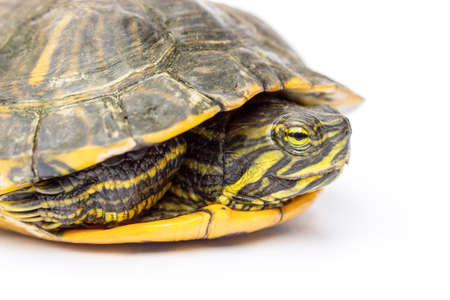 Close up yellow-cheeked turtle isolated on white background