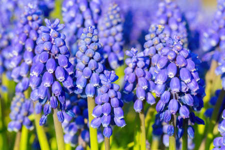 Group of blue grape hyacinths in spring season
