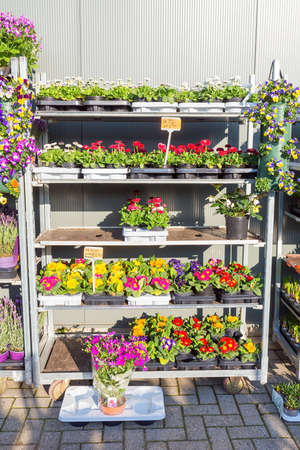 Rack filled with flourishing Bellis and Primula plants in Holland