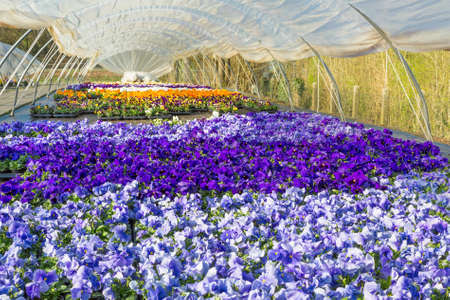 Plastic greenhouse in Europe with colorful yellow, blue and purple flourishing pansies