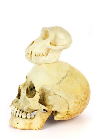 Skull of human and ape isolated on white background