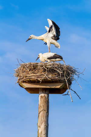 Two juvenile storks stand and fly on nest in blue sky Reklamní fotografie