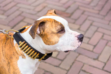 Portrait of Staffordshire terrier dog with bullets on collar