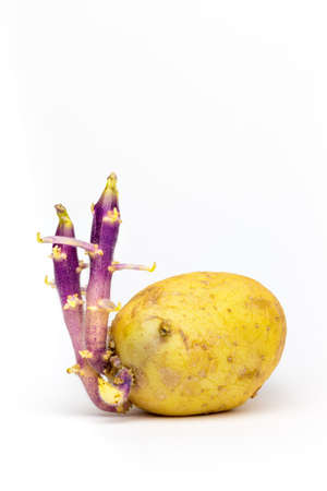 Germinated Potato with two stems isolated on white background