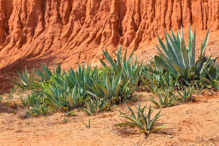 Group of Agave plants in front of colorful european rocky mountain Reklamní fotografie
