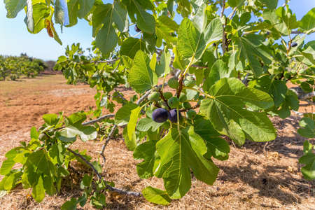 Group of figs as fruits hanging at fig branches with leaves in portuguese orchard