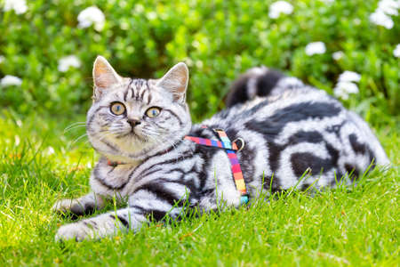 Young british short hair silver tabby short hair cat lying in green garden
