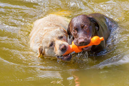 Two labradors with orange rubber toy swimming side by side in natural water