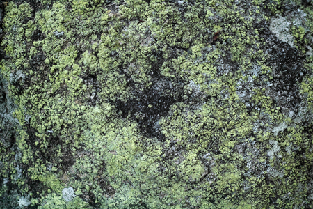 green algae: Green algae on rock texture