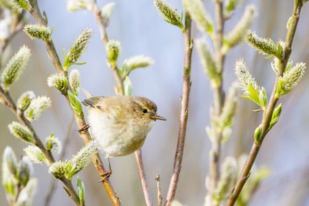 catkins: A chiffchaff ( Phylloscopus collybita) is eating insects from the catkins