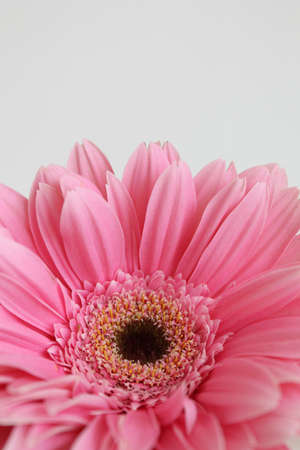 pink daisy: pink daisy flower Stock Photo