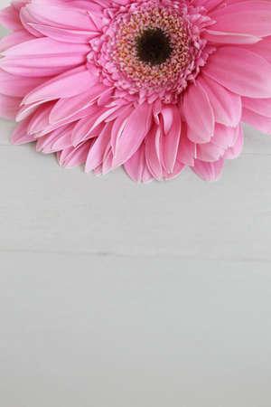 pink daisy: pink daisy flower Stock Photo