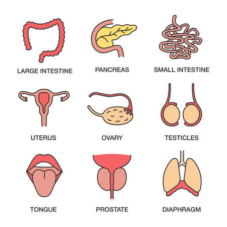 Human internal organs color icons set. Large and small intestine, pancreas, uterus, ovary, testicles, tongue, prostate, diaphragm. Isolated vector illustrations Vector Illustration