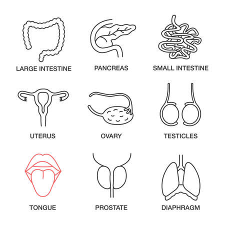 Ensemble d'icônes linéaires d'organes internes. Gros et petit intestin, pancréas, utérus, ovaire, testicules, langue, prostate, diaphragme. Symboles de contour de ligne mince. Illustrations de contour vectoriel isolé