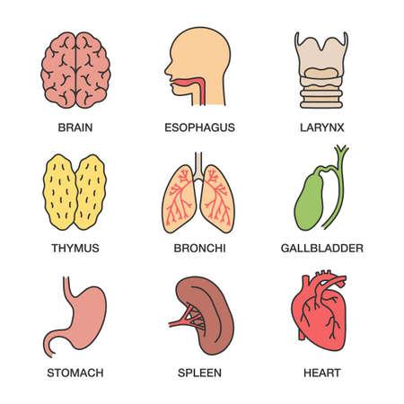Human internal organs color icons set. Brain, esophagus, larynx, thymus, bronchi, gallbladder, stomach, spleen, heart.