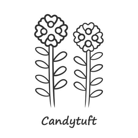 Candytuft linear icon. Thin line illustration. Aster garden flower with name. Iberis evergreen perennial plant inflorescence. Spring blossom. Contour symbol. Vector isolated outline drawing