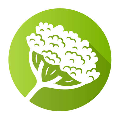 Cow parsnip green flat design long shadow glyph icon. Hogweed blooming flower. Herbaceous plant. Heracleum maximum. Indian celery. Wildflower, weed. Spring blossom. Vector silhouette illustration Çizim