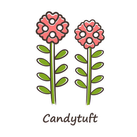 Candytuft red color icon. Aster garden flower with name inscription. Iberis evergreen perennial plant inflorescence. Blooming wildflower. Spring blossom. Isolated vector illustration Ilustração