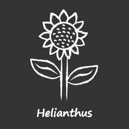 Helianthus chalk icon. Sunflower head with name inscription. Field blooming flower. Agriculture symbol. Wild plant inflorescence. Summer blossom. Isolated vector chalkboard illustration
