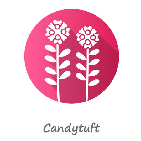 Candytuft pink flat design long shadow glyph icon. Aster garden flower with name inscription. Iberis evergreen perennial plant. Blooming wildflower. Spring blossom. Vector silhouette illustration
