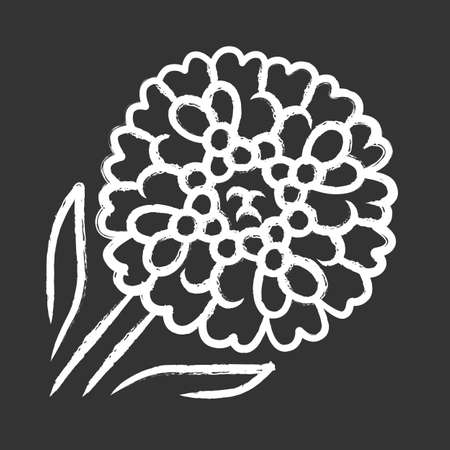 Candytuft chalk icon. Aster garden flower. Iberis evergreen perennial plant. Blooming wildflower. Spring blossom. Isolated vector chalkboard illustration