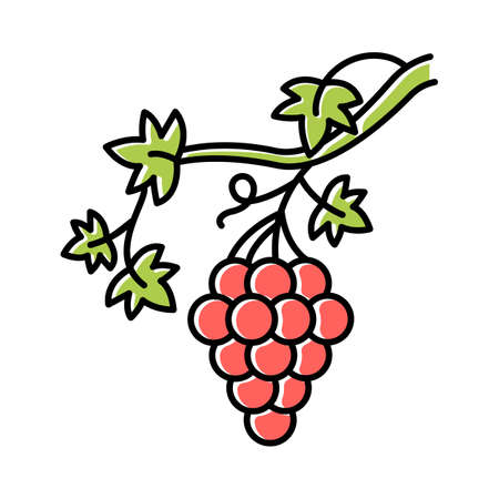 Grapevine color icon. Brush of grapes on branch. Viticulture, winemaking. Symbol of wealth, abundance, prosperity and fertility. Bible metaphor of faith. Isolated vector illustration