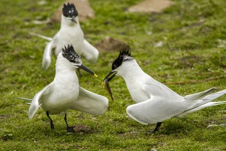 sata: Sandwich Tern, adults, Farne Islands, United Kingdom.