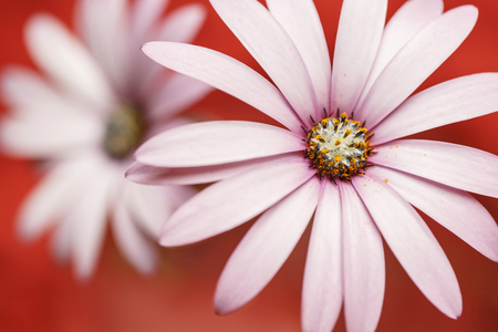 Flower, daisy with color backgroung