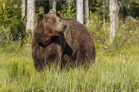 Brown Bear (Ursus arctos), on forest, Finland. Stock Photo
