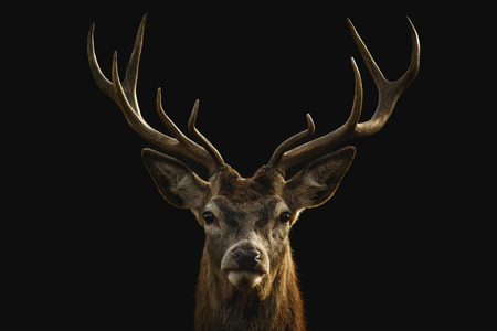 Red deer portrait on black background. Banco de Imagens