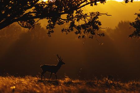 Red Deer (Cervus elaphus) at sunrise Stock Photo