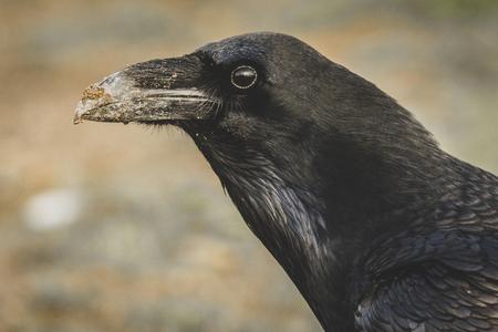 Common Raven (Corvus corax) portrait. Stock fotó