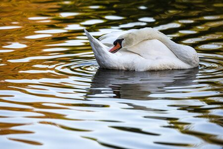 Mute Swan (Cygnus olor) on a lake, Gijon, Asturias, Spain.