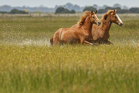 Horses running through marsh