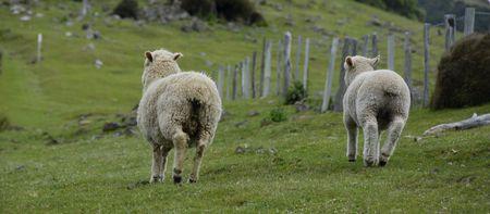 woll: New Zealand Sheep