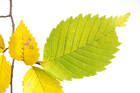 Close up of green and yellow leaf on white background  Stock Photo