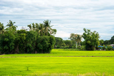 gold: Local Life Thailand - Gold and Green Rice Farm Stock Photo