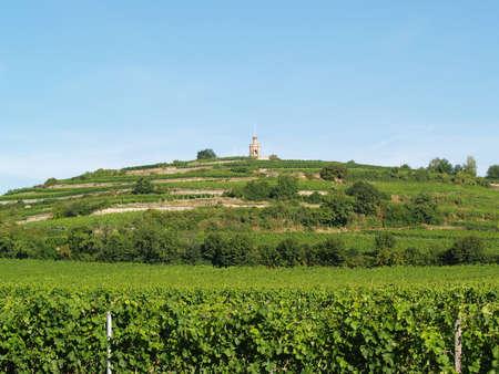 viniculture: Mellow viniculture on a acclivitous hill Stock Photo