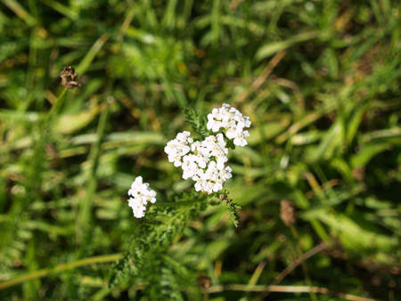 Yarrow blooms on the meadow photo