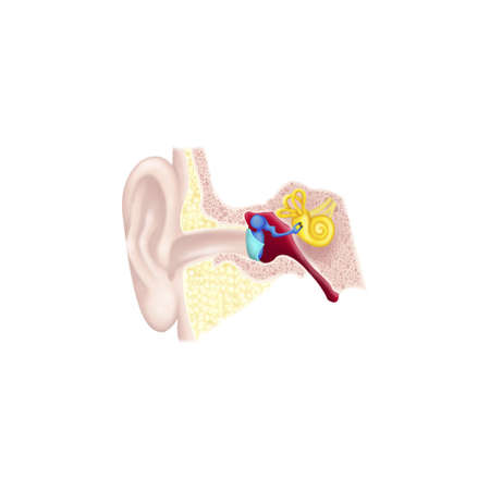 Internal Ear, Drawing