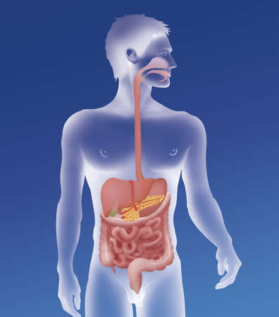 Digestive System,Illustration LANG_EVOIMAGES