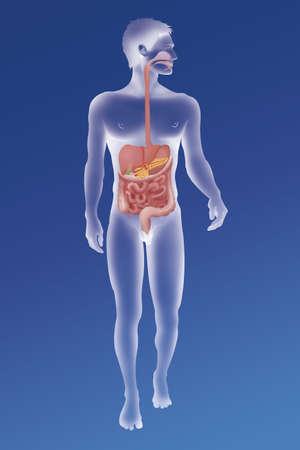 Digestive System,Illustration LANG_EVOIMAGES