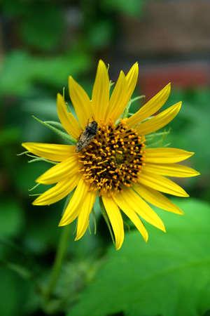 Owady zapylaczami spoczywającej na żółty daisy.