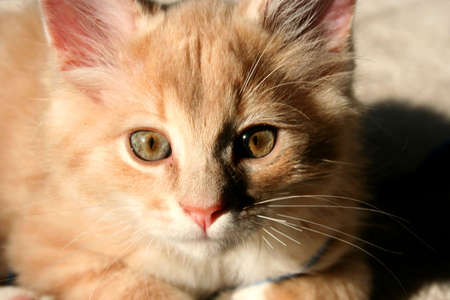 A closeup of a kitten with beautiful hazel eyes.